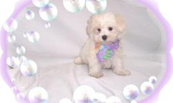 This baby girl is a doll! She is crazy playful and loves to have fun. She is ready for a new family to love.She is hypo allergenic and has a beautiful non shedding hair coat.She is micro chipped. She comes with her first series of shots, wormings and a