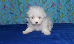 malteses puppy for sale contact for details or text/call 954-526-5667