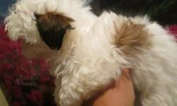 Maltese Shih Tzu Mix READY TO GO! 2 boys white with reddish brown black color markings or black and white $400. Will be very small 5 lbs. Parents are my pets, AKC/CKC registered, both weigh under 8 lbs puppies are small. Written
