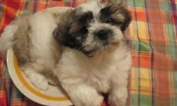 Maltese Shih Tzu Mix Puppies 2 boys READY TO GO !!! $350 black and white. Written Health guarantee, CKC registration papers, up to date on shots, worming completed, pee pee pad training, well socialized played with every day, puppy pack food and toy