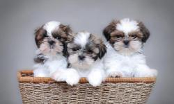 ADORABLE, NONSHED, BABYDOLL FACES, POTTY PAD TRAINED, FLUFFY, SMART, SWEET AND LOVING FAMILY COMPANIONS. FEMALES> 495.00. GET THE BEST OF BOTH WORLDS WITH THESE AWESOME DESIGNER PUPS. TWO LARGER ONES FOR CHILDREN. 8 WEEKS OLD. FIRST SHOT, WORMED,WRITTEN