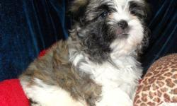1 Male Maltese/ShihTzu born on 4-21-11. UTD on shots and comes with a health warranty. For More Info Call/Text: 262-994-3007 ** Credit Cards Accepted (Visa/MasterCard) ** Financing Available ** Shipping Available **