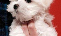 """I have 3 precious female Maltese puppies that are healthy, pleased and the ideal buddy canine for households and travellers. Maltese are the best breed, they are liking, hypoallergenic, non- shedding and are not """"yippy"""" like other little type"""