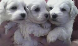 Maltipoo male puppies 2 left (3 quarter Maltese quarter Poodle) white, miniature, ready to go July 4th week, non shed mommy is a white Maltese/Poodle 18lbs, daddy is a Maltese 8lbs. will have shots, dewclaw removed, dewormed, puppy care package. raised in