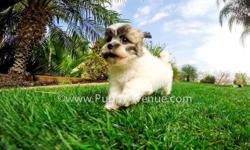 This is ?Noelle?, our incredibly gorgeous female Teddy Bear Hybrid puppy for sale in San Diego. Check out our website for more pictures of Noelle ? www.PuppAvenue.com   Maltese x Shih Tzu * 10 weeks old  * Adult weight: 8-12 lb. * Checked by a