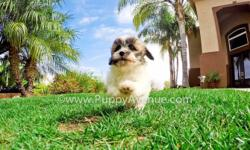 This sweet girl is ?Noelle?, our adorable female Teddy Bear (MalShi) puppy for sale in San Diego. Check her out: http://youtu.be/mr0VoL5Gwzk   Maltese x Shih Tzu * 10 weeks old  * Adult weight: 8-12 lb. * Checked by a Licensed Vet * Clean Bill