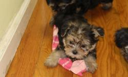 These 5 (4 females and 1 male)puppies are cute Maltese/Yorkie mix. These pups are full of personality and will make a great addition to any home setting. They were born on May 26, 2016 and will be ready for their new homes next week. These