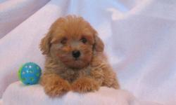 1 Female MaltiPoo (Maltese/Toy? Poodle) born on 6-10-11. UTD on shots and comes with a health warranty. *?* Credit Cards Accepted (Visa/MasterCard?????) ** No Credit Check Financing Available (Please Inquire) ** Shipping Available ** Microchipped ** Tail