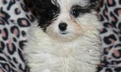 9weeks old female tiny tea cup wont get over 4 lbs shot wormed ready for new home 832-863-0811 no texating galleria $400