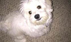I have a maltipoo that is 7 months old and about 10lbs.He is full of energy and very loving. He is potty trained to use pads. He also comes with paper work & is microchipped. I will included his kennel & favorite toys. Also, he has 7 months of