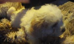 His mom is a Mal;tipoo and his dad is a full Maltese so his fur is a really light wave like the perfect perm, he is all white accept for his ears which are tan.He is the last male puppy and he has had first second and third shots just needs rabbies he has