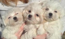 I currently have two male and two female puppies left for sale!! They are all white with Maltese hair and dark eyes, black noses.:) They are almost 10 weeks old an have two puppy shots and regular dewormings. They should stay under 8