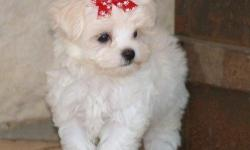 BEAUTIFUL, NONSHED, BABYDOLL FACE, POTTY PAD TRAINED, SMART, SWEET AND LOVING FAMILY COMPANIONS. GET THE BEST OF BOTH WORLDS WITH THESE AWESOME LITTLE DESIGNER PUPS. 8 WEEKS OLD. FIRST SHOT, WORMED, WRITTEN HEALTH GUAR. FREE PUPPY STARTER PACK. *CALL* FOR