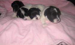 Beautiful tea cup maltipoo pups 2 males $550 1 female $600, now taking $100 deposits, will be ready to go to new homes by end of May. Mom weighs 5 lbs pure bred parti toy poodle and Dad is 3 1/2 lbs pure bred maltese. Will come with first set of shots and
