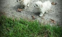 Beautiful Maltipoo babies,born August 05,6weeks of age. The babies has received their 1st vaccinations,and has been dewormed. The babies are now ready for the challenge of equipping to their new home/family. They are some very fun,and loving babies. Loves