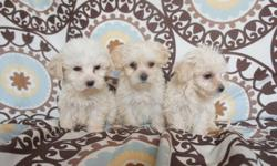 Cute  Maltipos, selling my french poodle minitoy poodles grow up to 1 foot and can weigh 7 pounds, original, playful and very clean, 8 weeks old, and I only have 1 females and 1 males may call 9512212875 or can send a text message if you like at any