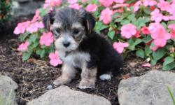 Hey There! I'm Marco, the awesome tri-color male Morkie!  I was born on June 7, 2016 and my parents 9 & 7 lbs. They're asking $599.00 for me.! I'll come with shots and worming to date! I like to play games like chase and hide an go seek. . . Do