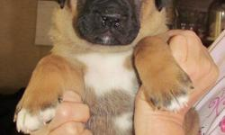 Mother Mastiff, father akc Akita. Born June 2nd. first shot and phyical. $400. Will be big dogs. Deer Park, Wa 509 2766691.