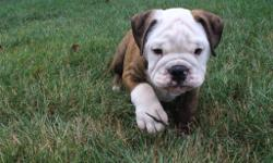 YO! I'm Max, the lovable male brindle AKC English Bulldog! I too studly to resist! Don't you think?I was born on May 20, 2016. They're asking $2099.00 for me! I'll come vet checked, with shots and worming to date. Do you think I am the perfect new