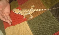 This is a baby Bearded Leatherback Dragon. For more information call 37-480-0419.
