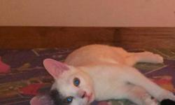I am looking for a loving family for Lightning. Lighting is a six month old male White and Gray kitten. He is extremely active and playful. He gets along with other cats and also dogs. He is good with children. He loves to cuddle. I work two jobs and do