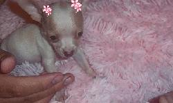Beautiful Apple Head Chihuahua very tiny Micro Female  10  weeks old Binky 18 oz (Red/White)   $1000.00 each   Eating Nutro Natural Choice Small Breed Puppy Food Loving Gentle Wonderful disposition and Temperament Raised in a Cage