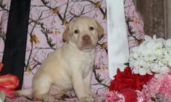 Ciao! I'm Milo, the winsome blonde male AKC Labrador Retriever! I was born on April 19, 2016! They're asking $650.00 for me! I'll come vet checked, with my shots and worming to date. I can't wait to have a family to love and play with. Do you