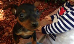 Hi I have a min pin female she is 9 weeks old she has her tail dock and dew claws done she is black and rust no papers both parent full bloded and on site and friendly any question you can call me at 916 534 4024