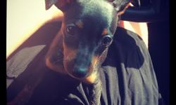 Everyone meet Diesel. He is a 14 week old Min Pin. He is a fun loving puppy, he is good with children (i have two), he is also good with other dogs (we have a two year old Chihuahua). We are looking for him to go to a new home to the right family that