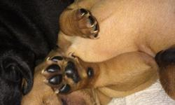 4 beautiful, happy, absolutely adorable and very much loved min pin puppies for sale. They were born October 15, and will be ready for a new home starting Dec 15. 3 boys and 1 girl. If you would like them to have their shots, I can include that for