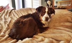 Four year old pure breed australian shepherd needs good home. Very loving and likes to cuddle. GREAT with kids and people in general. Trained, shots are current and just had teeth cleaned. Would be best as only dog in house but plays well with other dogs.