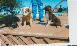 CKC registored minature australian shepherds a black tri, a chocolate and light red males 3 different ages youngest is 3mth to 6 ths. first shots and wormed. the red one has two blue eyes.