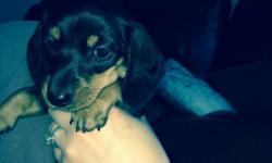 Hi there, we have one miniature dachshund boy looking for his new loving home. He is a smooth short haired black & tan boy with beautiful markings. He is very loving,affectionate & loves to play. Our pups of a litter from our family pets and have been