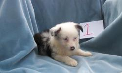 Mini Aussie Blue Merle Male lots of Flash PET only. this puppy can't be shown too much white. But he would make an excellant pet. Mom is 14in Dad is 14 in tall Ranch Raised ; Grandkid approved Up to date on vaccinations and worming