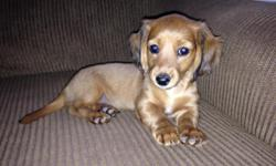 Three adorable, playful, Male Mini Dachshund puppies for sale. There is one Black/Tan male and two darker Cream colored males. They have their first shots/shot records and are dewormed. Both parents are AKC registered and the puppies will have their