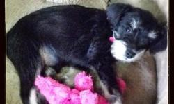 I have a black & silver mini schnauzer puppy for sale. Her birthday is August 15 2013. We bought her form a breeder in Big Lake. She needs a good home. Her name is Juliet. I love her so much, but I do not have the time right now to properly take care of