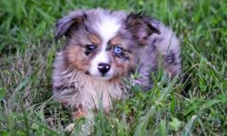 Miniature Aussie.Nice little puppies . I have 3 little boy's. 2 Blue Merles and 1 Black Tri and 1 little girl Black Tri The Blue Merels Has 1 Blue Eye 9 weeks old. will come with shot and worming record They are Registered