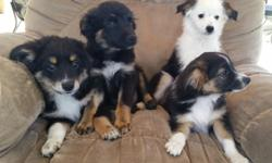 Miniature Australian Shepherd puppies for sale! ASDR registered. Ready to go! One female and three males left!!!! Black tri pups with copper markings! Shots and deworming done. Tails docked, weaned, and housebroken. Parents on site! Very loving and