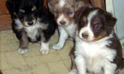 Darling ready for your new years joy. One red merle male with nice amount of white maybe a partial blue eye. Red tri female nice white markings. Black tri female with less white. Parents are ASDR and NSDR reg. Farm family dogs that do everything with the