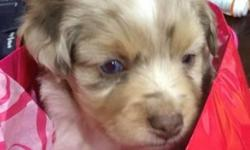 Miniature Australian Shepherds are easygoing, perpetual puppies that love to play. Courageous, loyal and affectionate, they are excellent children's companions that are great with active children. A devoted friend and guardian. Very lively, agile and