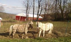 Three adorable miniature horses. One registered mare 32 inches. Her daughter is a little taller and is a silver color. She is seven very friendly and is halter broke.The mother is a pinto and is fifteen years old and the gelding is white