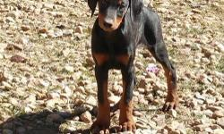 Doberman Puppies. 12 weeks old. They are dewormed and have their shots. Tails are docked. AKC. $450 (210) 876-5815. derick.njie100***gmail***com