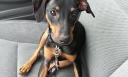 Adorable 5 month old male Miniature Pinscher puppy for sale. Traditional black and tan markings with docked tail. He is vet checked and up to date on shots. Registry eligible. Unfortunately we have to find a new home for this