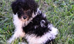 Sweet little poodles. I have two little girl's 9 weeks old. Has shot and worming records They are registered. Mom is a party poodle, Black /Whiteand Dad is a Apricot