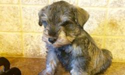 Registered AKC Miniature Schnauzer puppies for sale. They were born on 06/05/2016 and will be ready for their new forever homes on 07/31/2016. They are well socialized, hypoallergenic and non shedding puppies. They are UTD on vacation, dewormed, and has