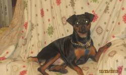 1 male black tan Mininature Pinscher, PURE BREED Parents on site, East side Milwaukee, papertrained, vet check, toes and tails docked.  8 weeks old. 500 firm call 414-455-3847/414-248-2882