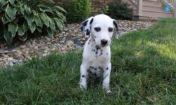 Hello There, I'm Mitch, the wonderful male AKC Dalmatian!  I was born on June 8, 2016. Mom weighs 48 lbs and my dad weighs 75 lbs. They're asking $795.00 for me! I will come with my shots and worming to date! I love to play ball,