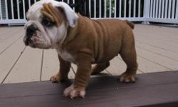 Hello! I'm Molly, the beautiful tri-color female AKC English Bulldog!! I was born on May 20, 2016. I want to tell you I get along with kids and other pets. They're asking $2099.00 for me! I'll come vet checked, with shots and worming to date. If you