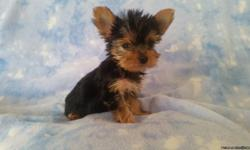 MomaWolf's Puppy's Yorkshier Terrier, Min.Schnauzer & Snorkie's AKC /CKC Registered. Regularly Breeding Puppy's Available often. Taking Deposits! All Puppy's, R Vet checked, First shots & wormed. Health Guarantee. Bred with Love in a Family Home! For more