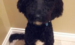 Very energetic male Goldendoodle. He is wonderfully smart and happy and has been through obedience training. He is good with larger dogs and older children.He has been neutered, has a microchip and has all of his shots. We are unable to provide the